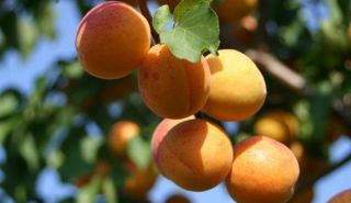 Season of apricots begins in Ton district
